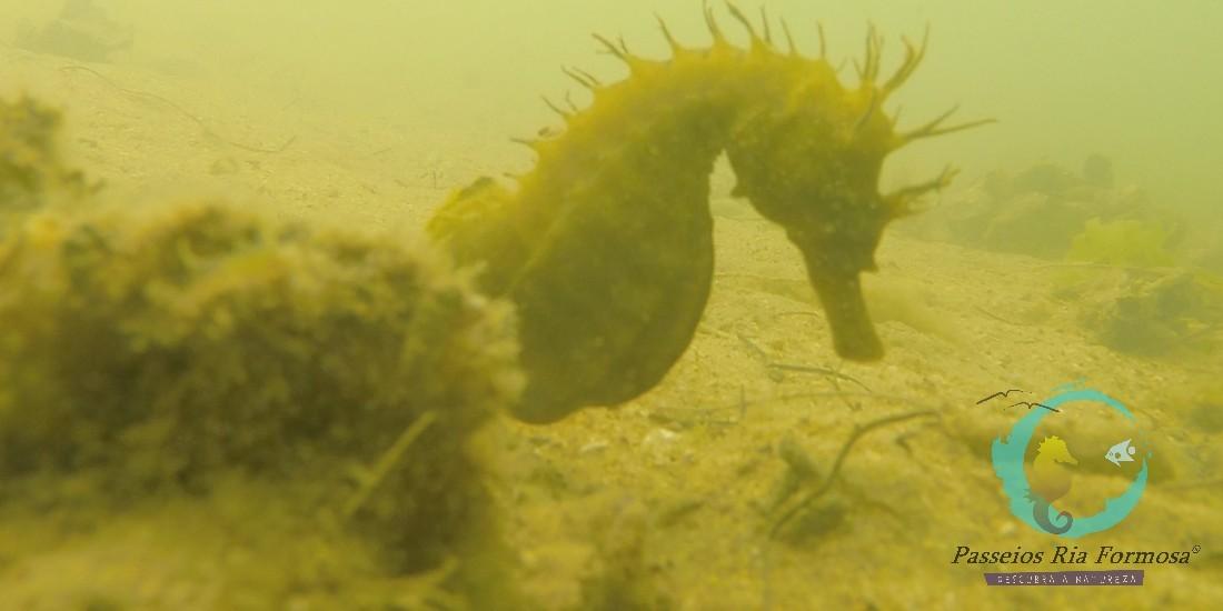 Observação de cavalos marinhos no algarve