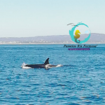observação de golfinhos no algarve